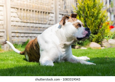 Huge dog guarding house. American bulldog on backyard. Best dog guard for house.