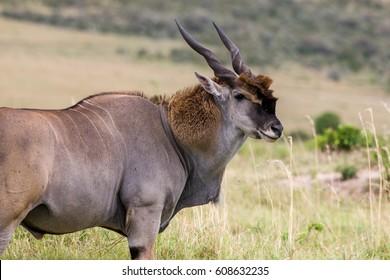 Huge Eland antelope in the Maasai Mara National Park, Kenya