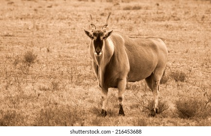 A huge Eland bull in this sepia tone image.