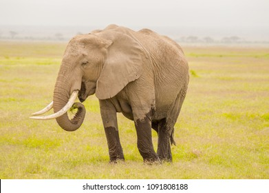 Huge elephant isolated on the trail in the savannah of Amboseli Park in Kenya