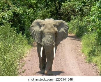huge elephant with tusks walking towards camera on dusty road