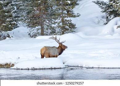 Huge elk with large rack of anlers stands in deep snow