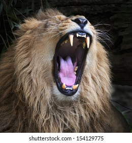 Huge fangs of an Asian lion, resting in forest shadow. The King of beasts, biggest cat of the world. The most dangerous and mighty predator of the world with open chaps. Square image.