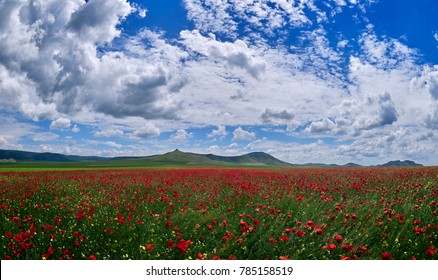 huge field of blooming poppies in summer with beautiful sky