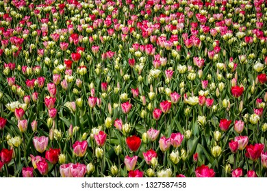 Huge Field of Gorgeous Pink and White Tulips outside of Amsterdam, Netherlands