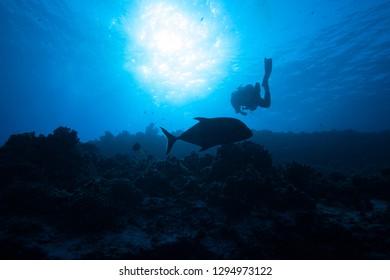 Huge fish sneaks past a scuba diver