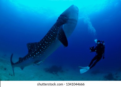 huge fish whale shark in the sea