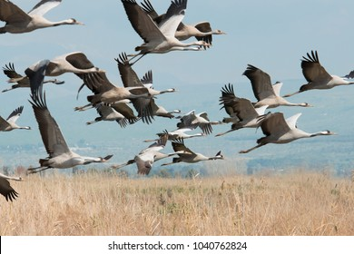 Huge flock of common cranes feed and flying against a blue sky