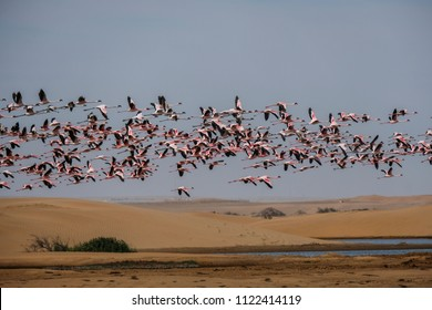 A huge flock of flying flamigos near the sands of Walvis Bay,Namibia