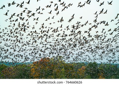 Huge flock of wild geese departing from a field in autumn. Migrating to their non-breeding winter grounds.