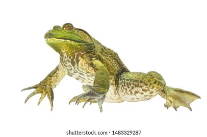 Huge Focus Stacked Image of a Huge Bullfrog Isolated on White