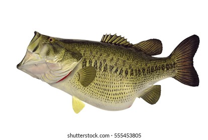 A huge fourteen pound Largemouth bass (Micropterus salmoides) isolated on a white background.