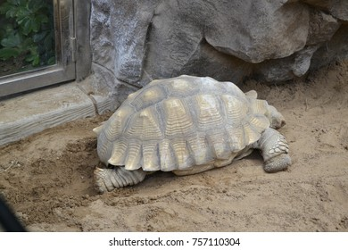 a huge Galapagos tortoise in the zoo