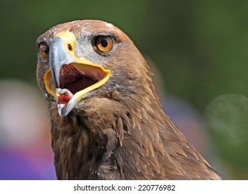 huge Golden Eagle with a open beak and bright eyes