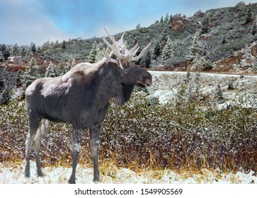 Huge gray moose stands by the road. Magnificent mountain landscape. Huge evergreen spruce covered with first snow. Concept of extreme, active, eco and photo tourism