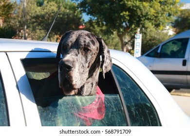 Huge great dane dog leaning out the window of a car