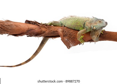 Huge green iguana on a coconut tree branch on white background isolated, a lot of copyspace available