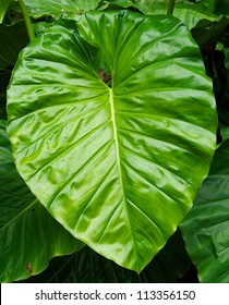 A huge green leaf from an Elephant Ear plant in Hawaii