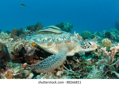 Huge green turtle in tropical coral reef with remora or suckerfish on the back
