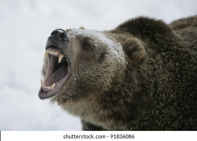 Huge Grizzly Bear with snow background