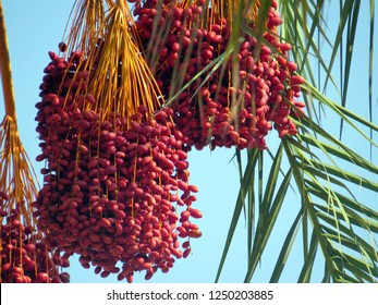 Huge group of dates hanging on palm tree against a blue sky