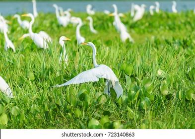 Huge group of white egrets above green vegetation of a flooded plain of aguape in Pantanal, Brazil. Bird also known as Garca-Branca-Grande in Brazil.