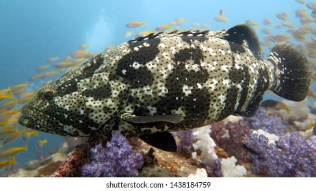 a huge grouper looks eyes in the eyes around a lot of soft corals of purple white and red, blue water and a lot of fish, close-up