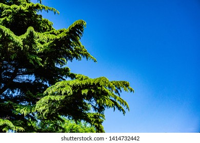 Huge hanging branches of Lebanese cedar against blue sky of heavenly clouds. Lebanon cedar tree or Lebanese cedar.  Concept of nature of the North Caucasus for design.