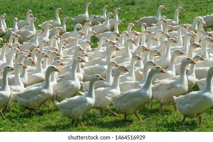 Huge herd of white geese on the green meadow of a geese farm