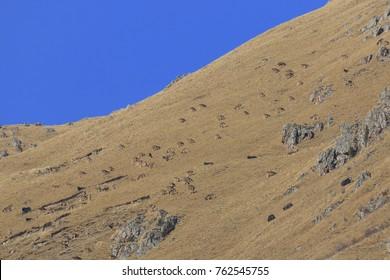 Huge herd of White-Lipped Deers (Przewalskium albirostris or Thorold Deer) in a mountainous Tibetan Area, China