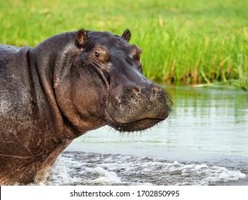 Huge hippopotamus looking straight into the camera from the water's edge in Botswana.