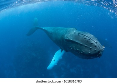 A huge Humpback whale, Megaptera novaeangliae, swims in the clear blue waters of the Caribbean. Atlantic Humpbacks spend their winters in the Caribbean and the rest of the year feeding in the north.