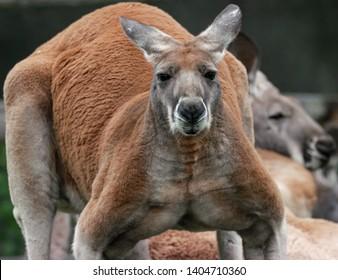 huge kangaroo with big  muscles is watching you