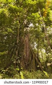 Huge Kapok Tree In Amazon Basin Ecuador