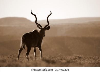 A huge Kudu Bull antelope / deer in this image taken in South Africa