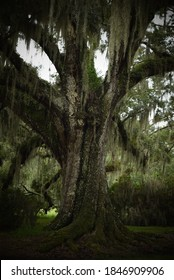 Huge live oak tree with strong branches overgrown with Spanish moss