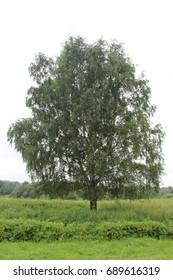 Huge lonely standing birch.