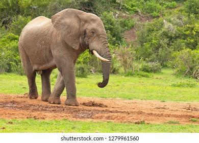 Huge male african elephant walking away from a waterhole after having a drink