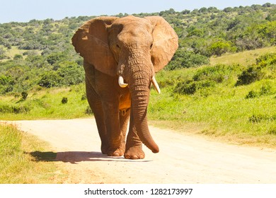 Huge male African elephant walking along a gravel road on his own in soft rich golden sunlight