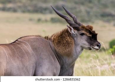 Huge male Eland Antelope in the Maasai Mara National Park, Kenya