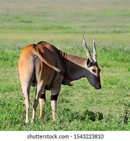 Huge male Eland Antelope in the Ngorongoro Crater, Tanzania
