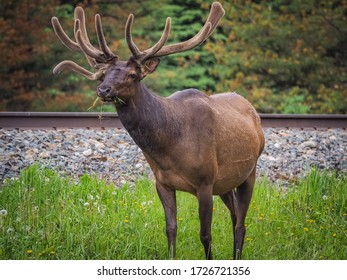 Huge male elk grazing next to the road