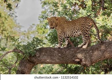 Huge male Leopard on a tree