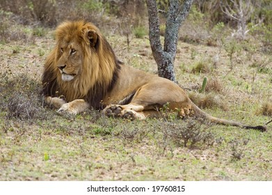 A huge Male lion rests in the shade