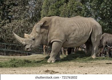 A huge male rhino