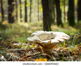 huge mushroom on a forest clearing in autumn