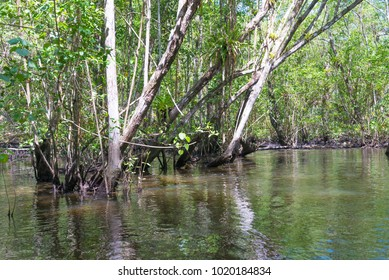 Huge natural mangroves with wide green forest in nature