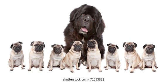 A huge newfoundland dog and eight pugs sitting in a row isolated on a white background