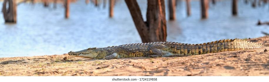 Huge Nile crocodile, Crocodylus niloticus, panoramic view on reptile from beach over Kariba Lake, Zimbabwe.