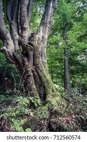 huge old beech tree in Nature Reserve rainforest Vinatovaca in Serbia, East Europe